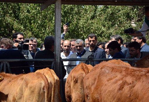 بازدید وزیر جهاد کشاورزی از مرکز پشتیبانی و مطالعات گاو بومی سراب