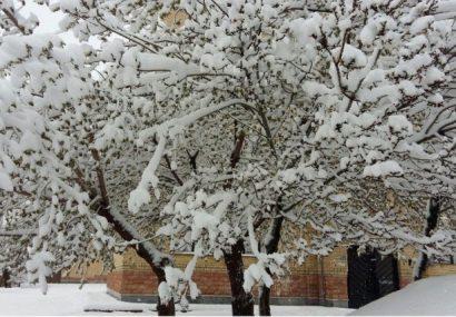 لزوم انجام اقدامات پیشگیرانه برای جلوگیری از سرمازدگی درختان