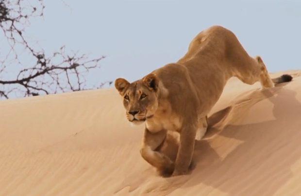 مشاهده یک قلاده شیر در ارومیه