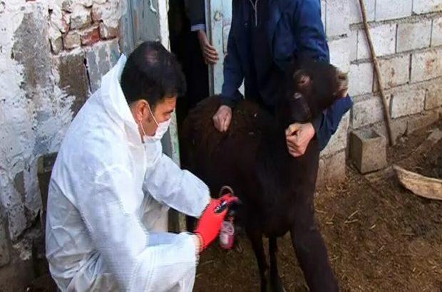 واکسیناسیون دامی علیه بیماری طاعون درآذربایجان شرقی