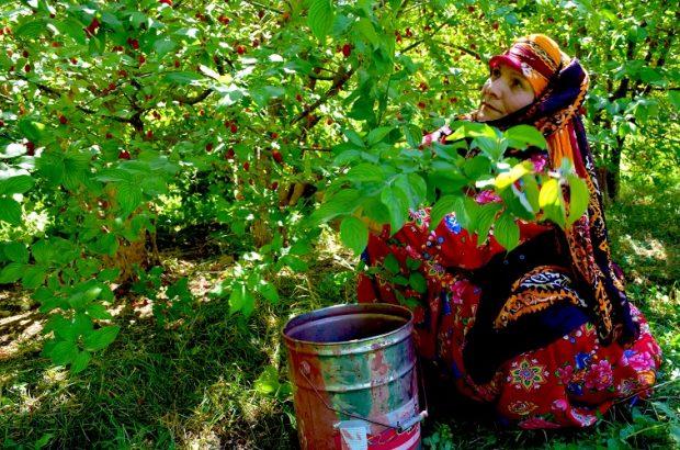گزارش تصویری از چهارمین جشنواره زغال اخته کلیبر