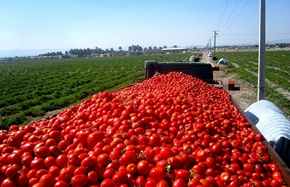 خرید حمایتی ۱۰ هزار تن گوجه فرنگی در آذربایجانشرقی توسط سازمان تعاون روستایی