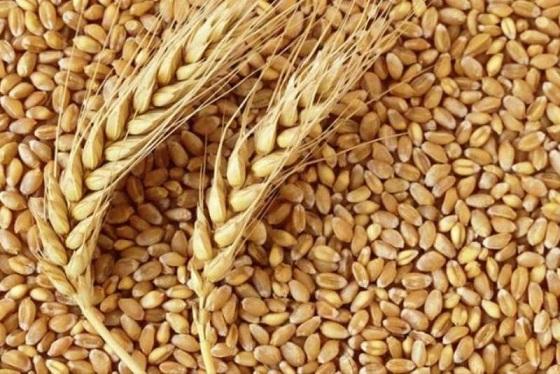 خرید تضمینی گندم در استان آذربایجان شرقی در ۴۶ مرکز آغاز شد