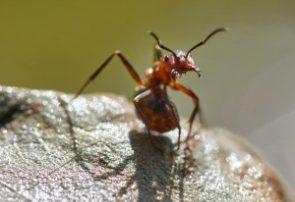 مورچه ای عجیب که کشاورزی می کند!